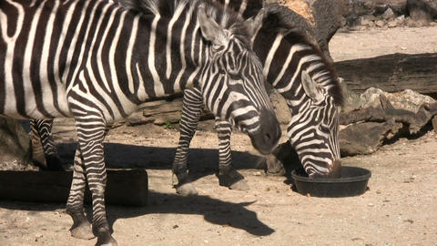 Closeup of some zebras eating on a sunny day Stock Video Footage