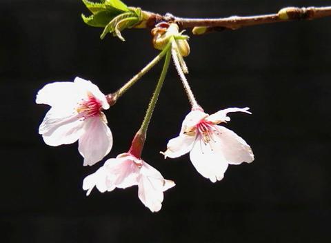 SAKURA 01 mov Cherry blossoms Stock Video Footage