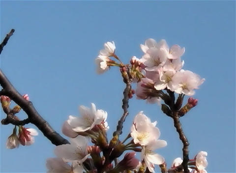 SAKURA 03 mov Cherry blossoms Stock Video Footage