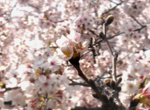 SAKURA 05 mov Cherry blossoms Stock Video Footage