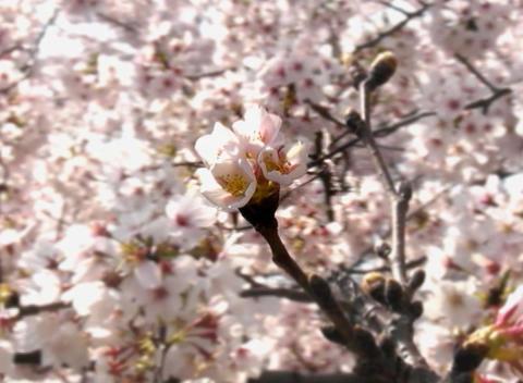 SAKURA 05 mov Cherry blossoms Stock Video Footage
