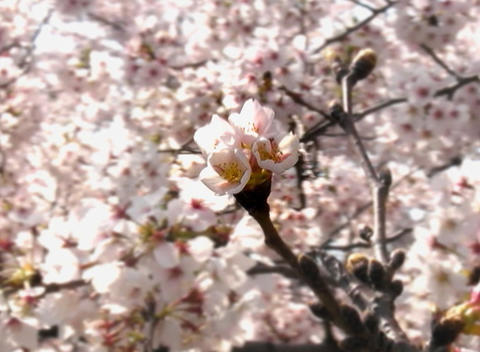 SAKURA 05 mov Cherry blossoms Footage