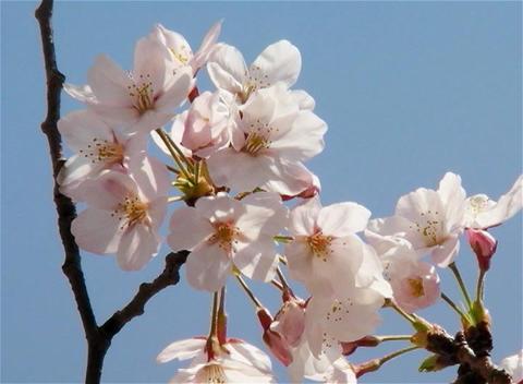 SAKURA 07 mov Cherry blossoms Footage