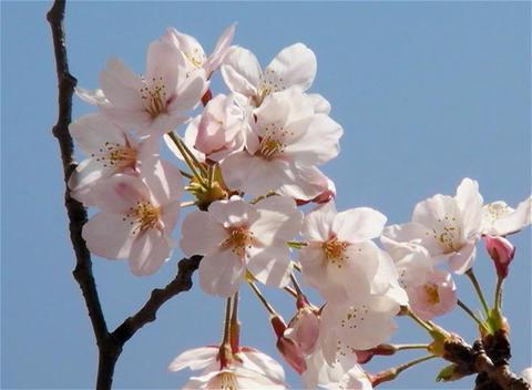 SAKURA 07 mov Cherry blossoms Stock Video Footage