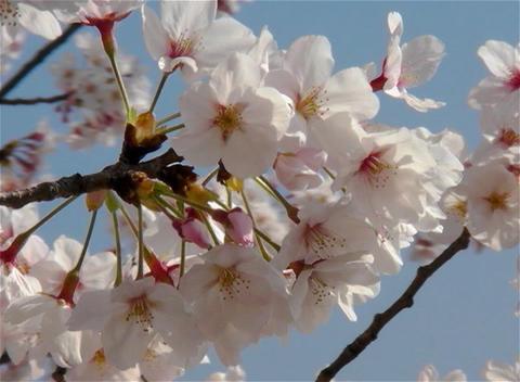 SAKURA 09 mov Cherry blossoms Stock Video Footage