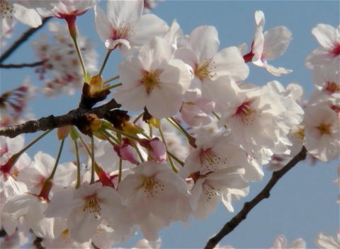 SAKURA 09 mov Cherry blossoms Stock Video Footage