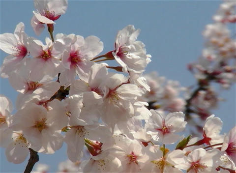 SAKURA 11 mov Cherry blossoms Footage