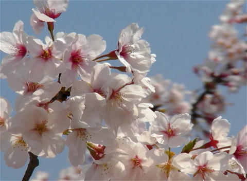 SAKURA 11 mov Cherry blossoms Stock Video Footage
