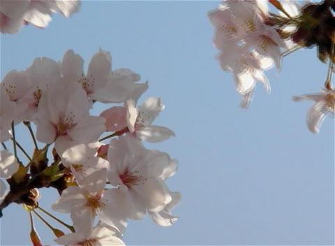 SAKURA 13 mov Cherry blossoms Stock Video Footage