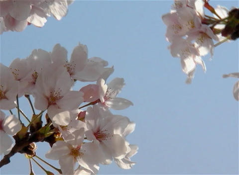 SAKURA 13 mov Cherry blossoms Footage