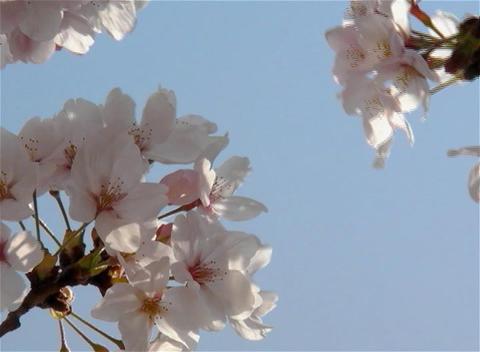SAKURA 13 mov Cherry blossoms Footage