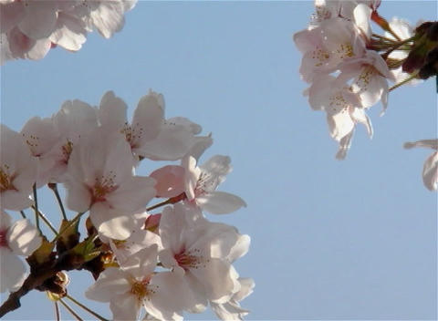 SAKURA 13 mov Cherry blossoms Stock Video Footage