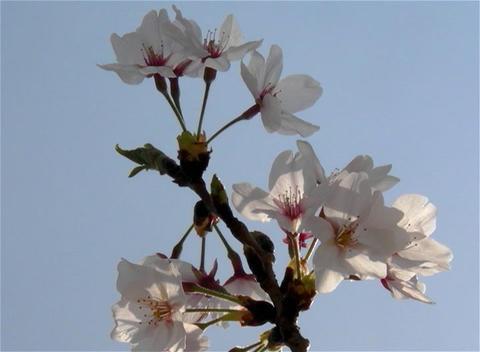 SAKURA 15 mov Cherry blossoms Footage
