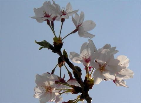 SAKURA 15 mov Cherry blossoms Stock Video Footage