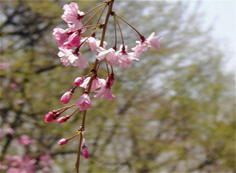 SAKURA 17 mov Cherry blossoms Footage
