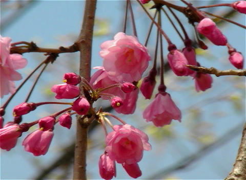SAKURA 19 mov Cherry blossoms Footage
