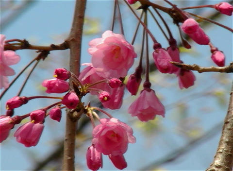 SAKURA 19 mov Cherry blossoms Stock Video Footage