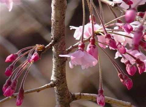 SAKURA 21 mov Cherry blossoms Stock Video Footage