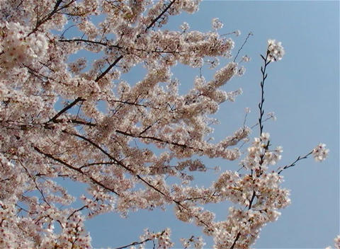 SAKURA 23 mov Cherry blossoms Footage