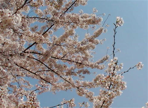 SAKURA 23 mov Cherry blossoms Stock Video Footage
