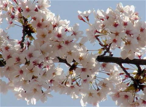 SAKURA 25 mov Cherry blossoms Stock Video Footage