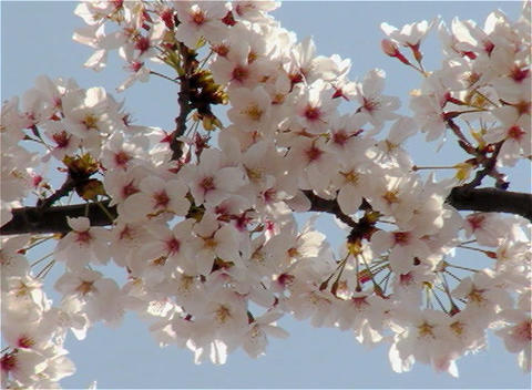 SAKURA 25 mov Cherry blossoms Footage