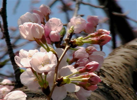 SAKURA 27 mov Cherry blossoms Footage