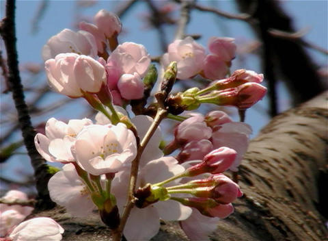 SAKURA 27 mov Cherry blossoms Stock Video Footage