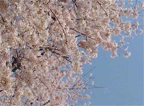 SAKURA 29 mov Cherry blossoms Stock Video Footage