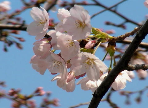SAKURA 31 mov Cherry blossoms Stock Video Footage