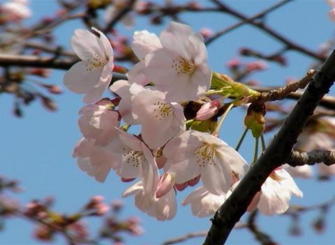 SAKURA 31 mov Cherry blossoms Stock Video Footage
