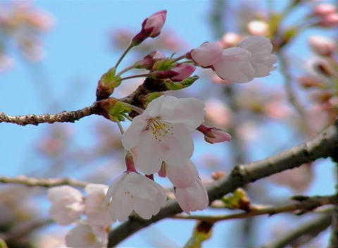 SAKURA 33 mov Cherry blossoms Stock Video Footage