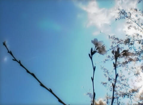 SAKURA 35 mov Cherry blossoms Footage