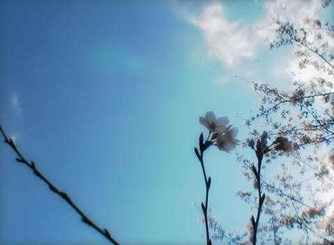 SAKURA 35 mov Cherry blossoms Stock Video Footage