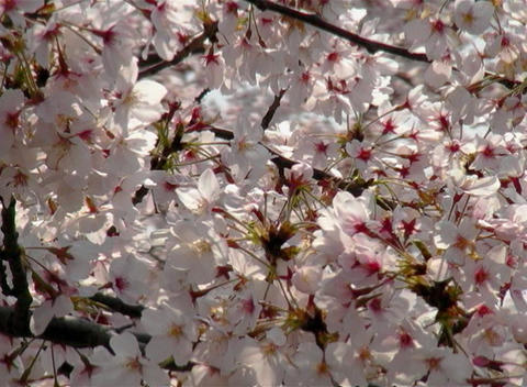 SAKURA 37 mov Cherry blossoms Footage
