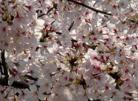 SAKURA 37 mov Cherry blossoms Stock Video Footage