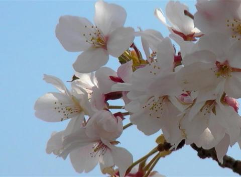 SAKURA 39 mov Cherry blossoms Stock Video Footage
