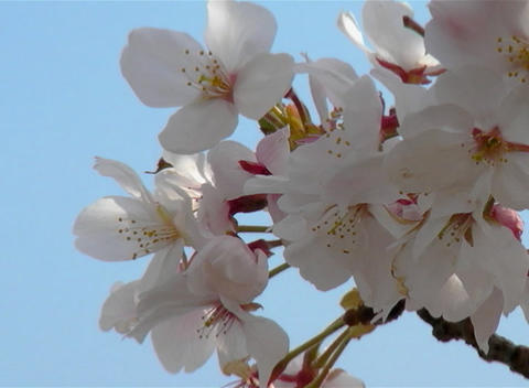 SAKURA 39 mov Cherry blossoms Stock Video Footage