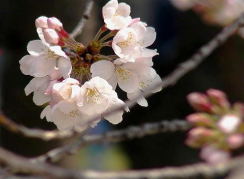 SAKURA 41 mov Cherry blossoms Stock Video Footage