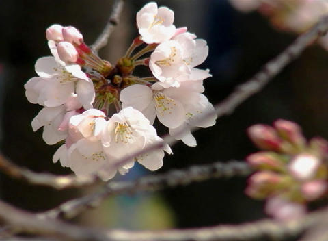 SAKURA 41 mov Cherry blossoms Stock Video Footage