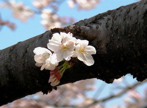 SAKURA 43 mov Cherry blossoms Stock Video Footage