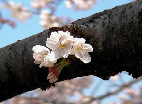 SAKURA 43 mov Cherry blossoms Footage