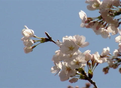 SAKURA 45 mov Cherry blossoms Stock Video Footage