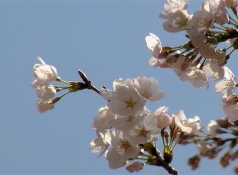 SAKURA 45 mov Cherry blossoms Stock Video Footage
