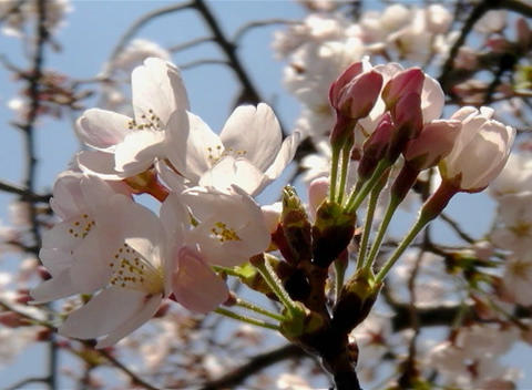 SAKURA 47 mov Cherry blossoms Footage