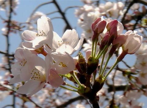 SAKURA 47 mov Cherry blossoms Stock Video Footage