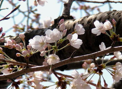 SAKURA 49 mov Cherry blossoms Footage