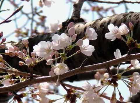 SAKURA 49 mov Cherry blossoms Footage