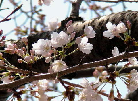 SAKURA 49 mov Cherry blossoms Stock Video Footage