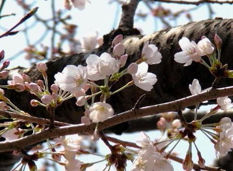 SAKURA 49 mov Cherry blossoms Stock Video Footage